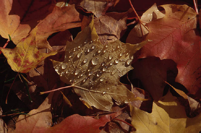 Autumn leaves and droplets of rain